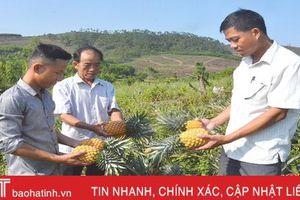 Trồng dứa trên đất nghèo, bí thư chi đoàn ở Hà Tĩnh thu hàng trăm triệu