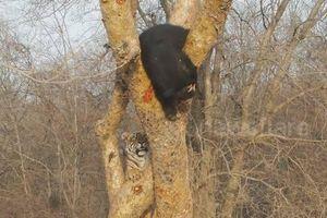 Liều lĩnh leo lên cây 'hù dọa' gấu đen, hổ nhận thất bại ê chề