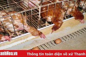 Thịt gà thải loại: Dai, ngon nhưng liệu có an toàn?
