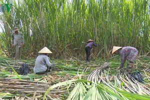 Vùng mía nguyên liệu giảm, nhà máy đường gặp khó.