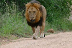 Nhóm du khách 'nín thở' khi chạm trán 2 chú sư tử