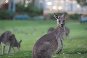 Chơi golf cùng 300 con kangaroo tại Australia