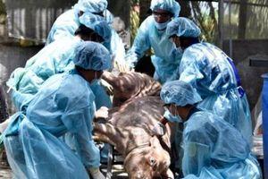 ĐBSCL: Dịch tả lợn Châu Phi phức tạp, khuyến cáo không vội tái đàn