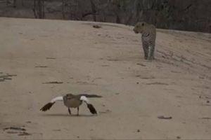 Ngỗng bố giả bị thương để dụ kẻ săn mồi và cái kết bất ngờ
