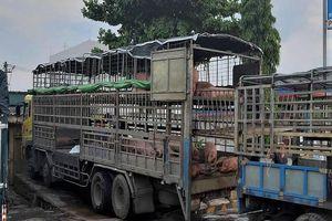 Phạt tám triệu đồng xe chở 39 con heo bị dịch tả heo châu Phi