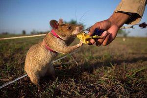 Chuột rà bom, mìn ở Campuchia