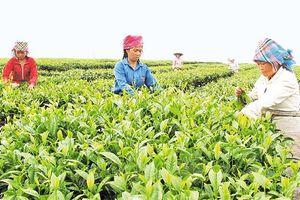 Lai Châu phát triển nông nghiệp theo hướng sản xuất hàng hóa