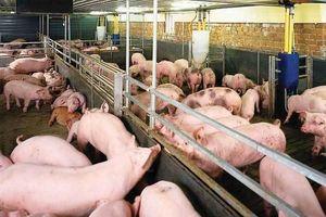 Tiêu hủy đàn lợn 20.000 con: Họp bàn 1 quyết định chưa từng có