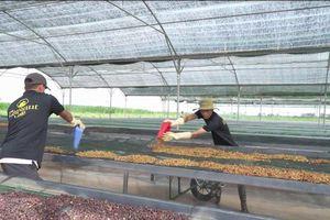 Doanh nghiệp cà phê oganic đạt giải Vàng chất lượng Quốc gia