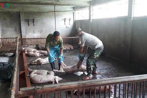 1/5 tổng đàn lợn Hà Nội bị dịch tả lợn châu Phi, gây thiệt hại nặng nề