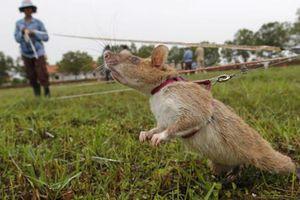 Những con chuột khổng lồ được dùng để dò mìn tại Campuchia