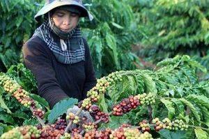 Giá cà phê hôm nay 25/6: Tăng 200 đồng, ở mưc 32.000 – 33.300 đồng/kg