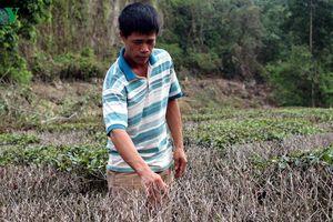 Chè 'chết cháy', lúa 'chết khát' khiến nông dân Nghệ An điêu đứng