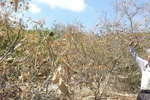 Nghệ An: Hạn hán khốc liệt, hoa màu chết cháy