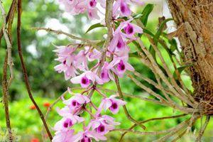 Ngỡ ngàng khi lạc vào khu vườn lan cổ thụ ở Tuyên Quang