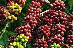 Giá cà phê hôm nay 26/6: Tăng mạnh thêm 700 đồng/kg
