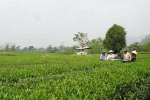 Phân bón Văn Điển: Niềm tin của người trồng chè Phú Thọ