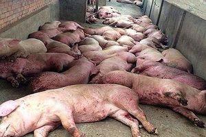 1.270 tỷ hỗ trợ tiêu hủy lợn bệnh tại 6 tỉnh miền Bắc
