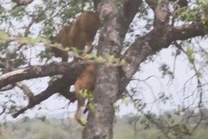 CLIP: Sư tử trèo cây, cướp mồi của báo hoa mai