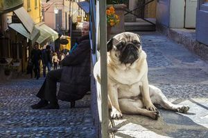 'So kè' chó khổng lồ và người, phát hiện kinh ngạc