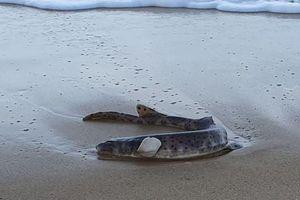 Phát hiện loài cá phát sáng trong tiểu thuyết viễn tưởng tại Úc