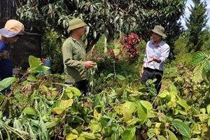 Một cá nhân tặng 3.000 cây trà hoa vàng quý hiếm cho Trường ĐH Đà Lạt