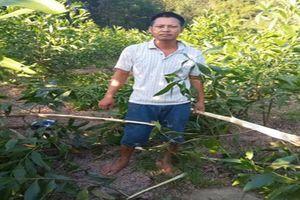 Nghệ An: Kẻ gian nhẫn tâm phá hoại gần 4.000 gốc keo của người dân