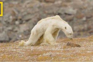 Gấu Bắc cực và cuộc vật lộn để tồn tại