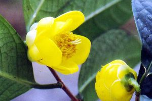 Tặng 3.000 cây trà hoa vàng quý hiếm để lập vườn bảo tồn