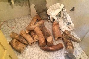 Hà Nội: Phát hiện, thu giữ hơn 200kg ngà voi