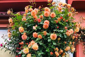 Người phụ nữ Việt xa quê quyết 'xây' ngôi nhà hoa hồng đẹp như mơ dành tặng cho riêng mình