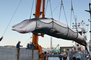 Giới hạn nào cho ngành săn bắt cá voi ở Nhật Bản?
