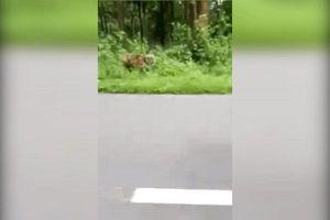 Người đi xe máy thoát chết trong gang tấc khi bị hổ đuổi theo tấn công