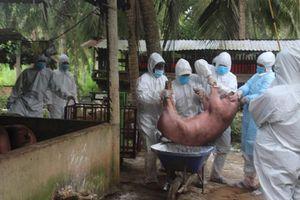 Bến Tre: Tiêu hủy khẩn cấp đàn lợn bị dịch tả lợn châu Phi