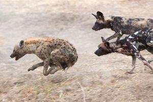 Linh cẩu trả giá đắt vì 'đơn thương độc mã' vào lãnh địa của chó hoang