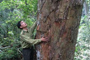 Thành lập khu bảo vệ 500 cây nghiến quý