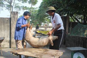 Thử nghiệm vắc xin chống dịch tả lợn châu Phi