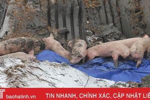 Hà Tĩnh xuất hiện thêm 4 ổ dịch tả lợn châu Phi