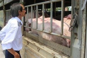 Cần Thơ tiêu hủy hơn 570 tấn lợn nhiễm dịch tả lợn châu Phi