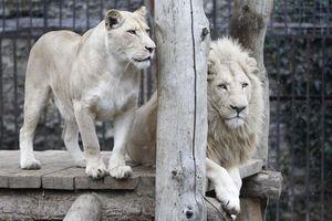 'Vua' sư tử trắng và những động vật bạch tạng quý hiếm