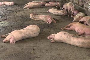 An Giang: Dịch tả lợn châu Phi lan ra 40 xã