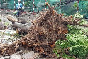 Hải Phòng ngổn ngang cây gãy đổ, bật gốc sau khi bão số 2 quét qua