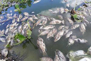 Đà Nẵng: Cá chết trắng bụng nghi do nhiễm độc từ cống thải