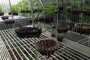 Phú Thọ: Trại phong lan bị trộm 50 giỏ hoa trong đêm, thiệt hại 2 tỷ đồng