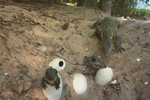 Liều lĩnh mò vào ổ trộm trứng cá sấu, kỳ đà nhận cái kết đắng