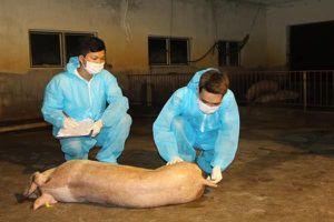 'Tối thiểu 2 năm nữa mới sản xuất được vắcxin chống tả lợn châu Phi'