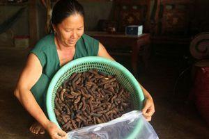 Nghề 'hái' ra tiền khủng ở Đắk Nông: Săn chuối hột rừng đại bổ