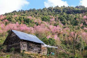 Chiến dịch trồng 1.000 cây mai anh đào trên cao nguyên Langbiang
