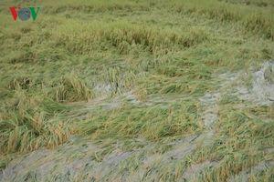 Mưa lớn diện rộng ở Hậu Giang, hàng nghìn ha lúa bị thiệt hại