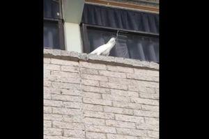 Vẹt siêu thông minh, tự phá hủy hàng rào gai chống chim để kiếm chỗ đậu